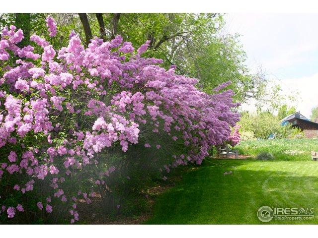 a lilac fence